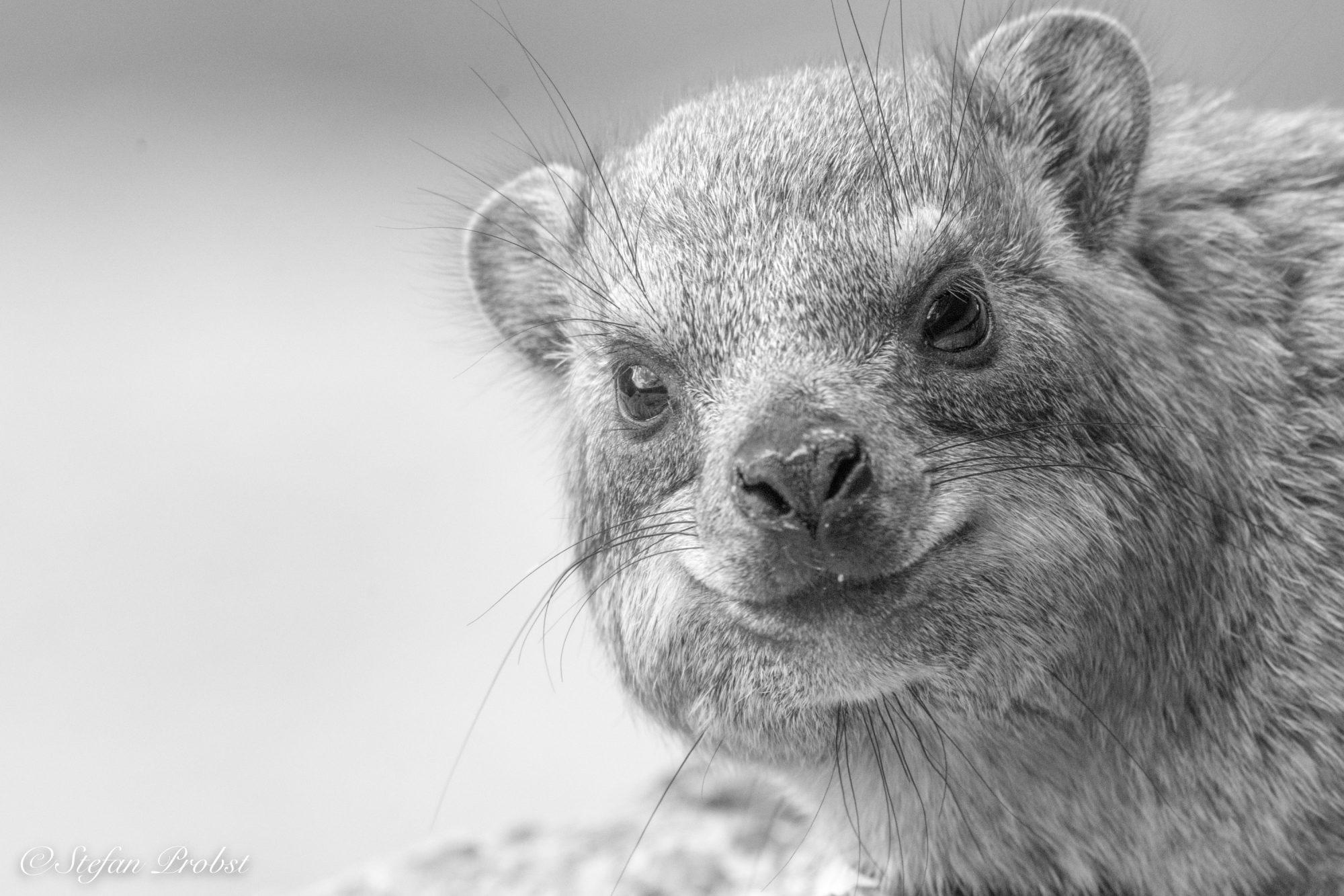 Namibia - Klippschliefer