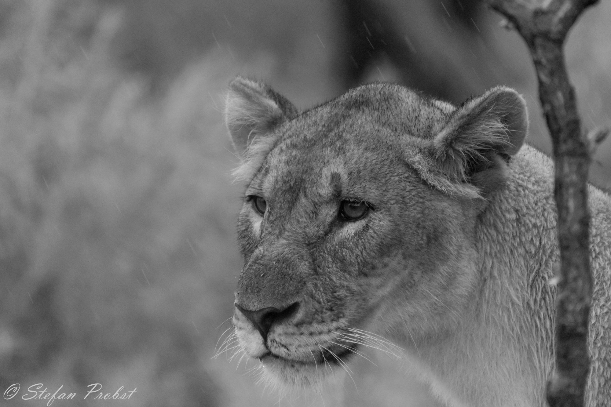 Namibia - Etosha - Löwin