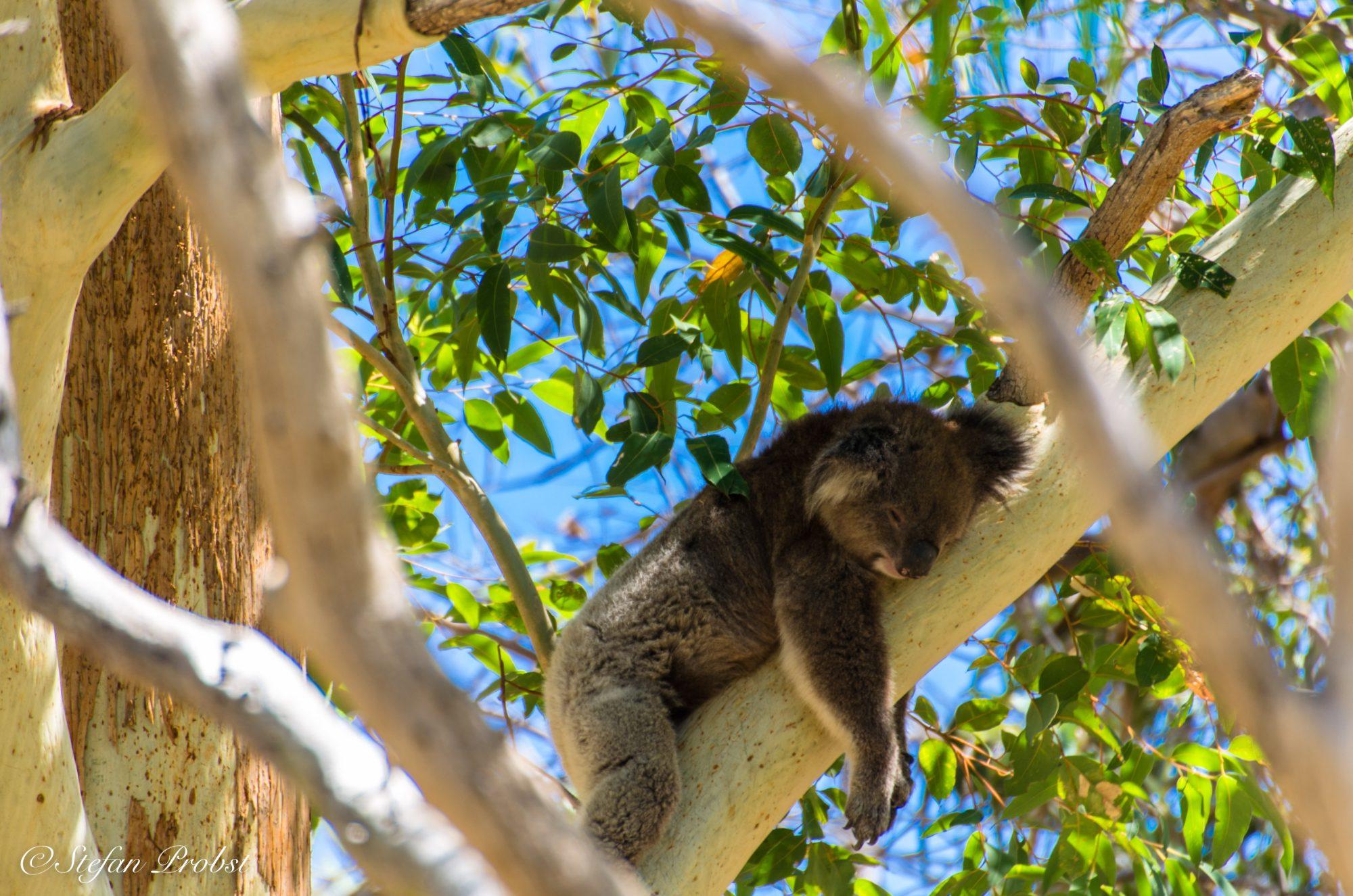 Schlafender Koalabär in einem Eukalyptusbaum